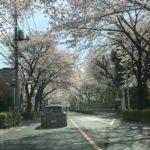 狛江の桜!(桜のトンネル)夜にはライトアップもしてます!狛江名物と言っても良いでしょう!