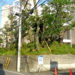 狛江市の桜!