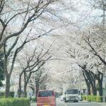 狛江の桜Ⅱ!
