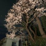 狛江の桜!Ⅲ
